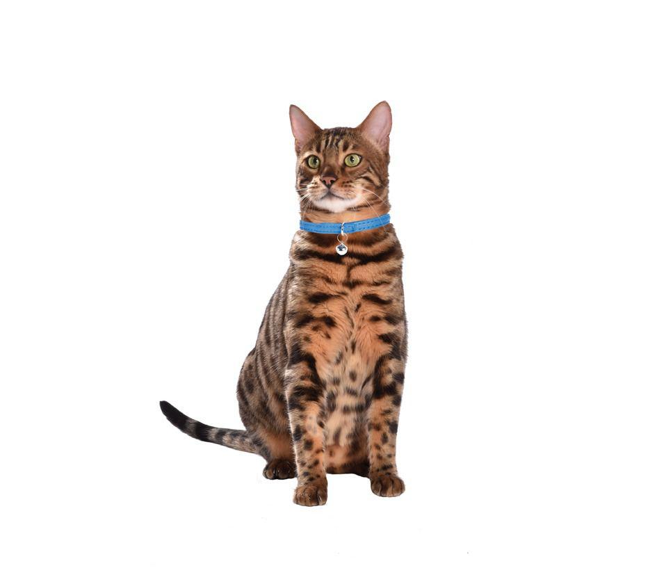 collier chat escapade sellerie cuir bobby accessoires pour chien et chat colliers. Black Bedroom Furniture Sets. Home Design Ideas