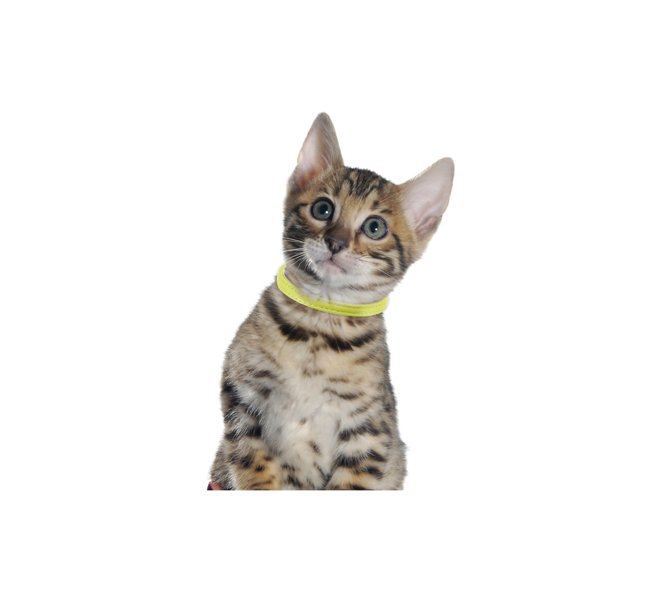 collier chat escapade cuir chat bobby accessoires pour chien et chat colliers manteaux. Black Bedroom Furniture Sets. Home Design Ideas